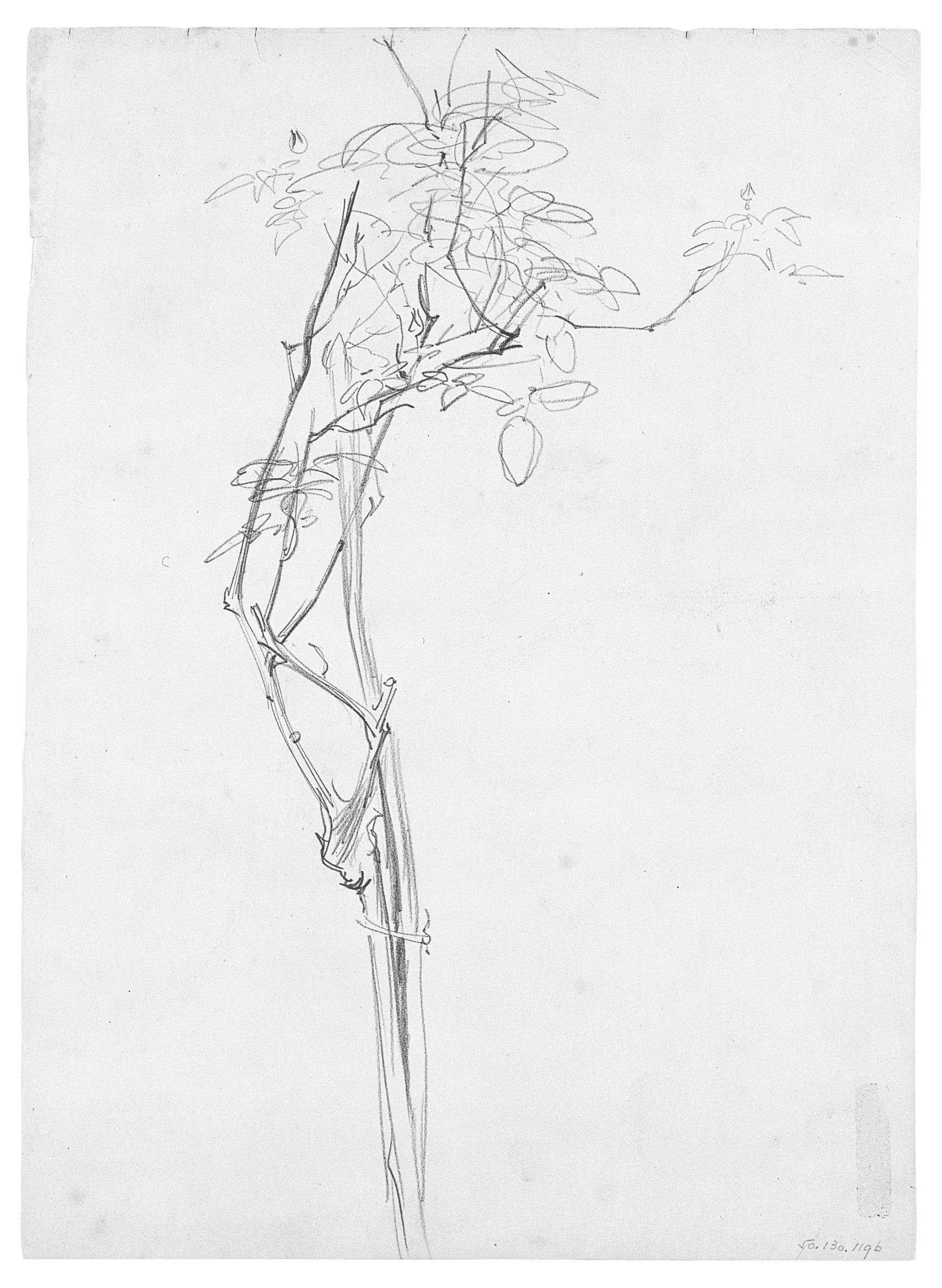 "Rose Branch, Study for ""Carnation, Lily, Lily, Rose"""