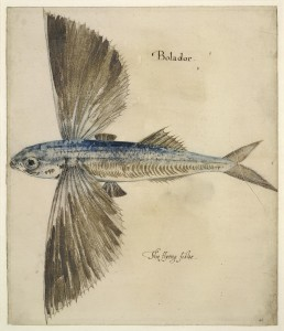 "Flying Fish (""Bolador"")"